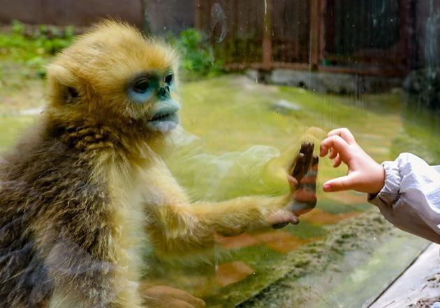 人猴嵌合胚胎重大突破下一步人造心脏肾脏